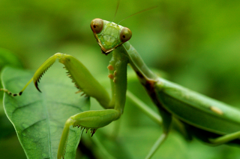 Attack of the brain-eating Praying Mantis: Experts stunned to discover that mantises have added small birds to their feeding habits